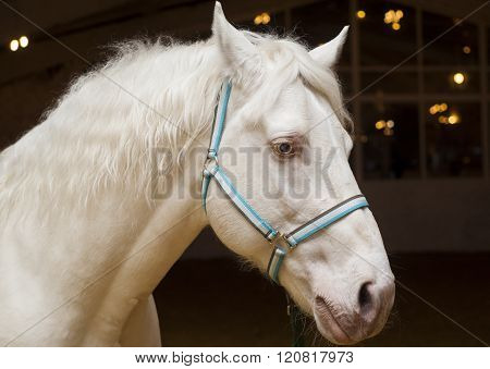 white horse with blue eyes and blue halter is in the stable