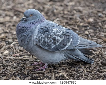 Feral pigeons Columba livia domestica also called city doves city pigeons or street pigeon poster