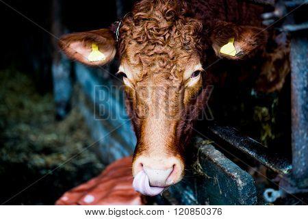 A Cow Lick