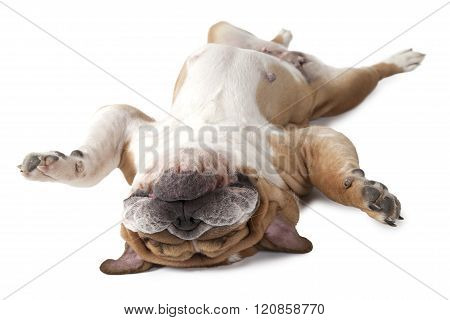 English Bulldog Lying On His Back Isolated On White