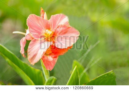 Pink Canna Flower (canna Indica) In The Garden With Blurred Background