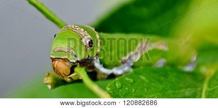 King Page Swallowtail Caterpillar