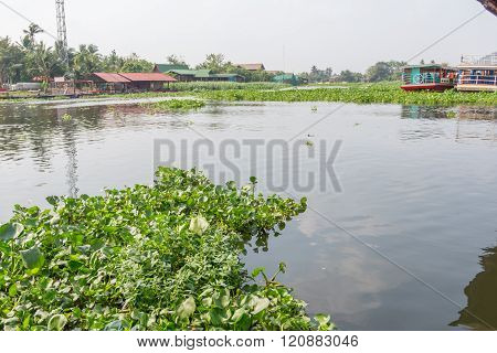 Water Hyacinth in the river
