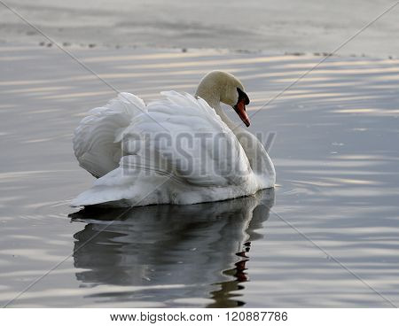Beautiful background with the swan in the lake on the sunset