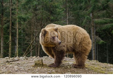 Bear Is Looking For Spring In The Forest