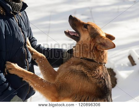 Black And Red Mongrel Dog Standing Front Paws On Human Breast