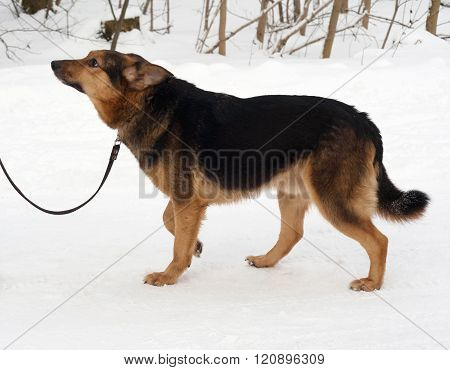 Black And Red Mongrel Dog Goes On Snow