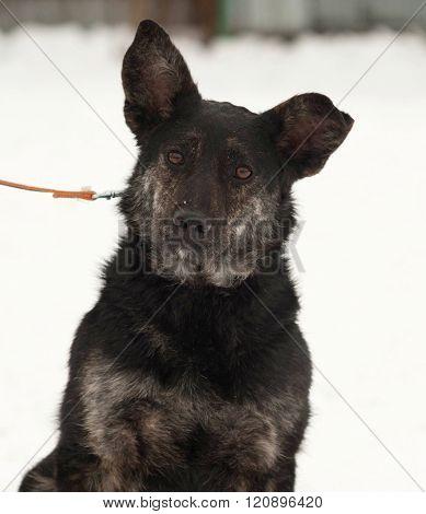 Black And Gray Mongrel Dog Sitting On Snow