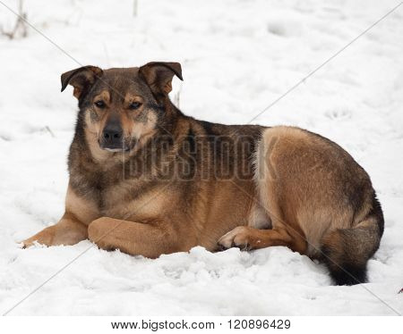 Brown Mongrel Dog Lies In Snow