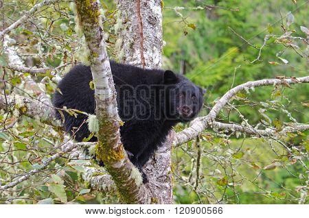 Black Bear sitting in a Rainforest Tree, Vanouver Island, Canada