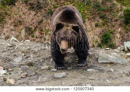 Emotins Of A Wild Brown Bear