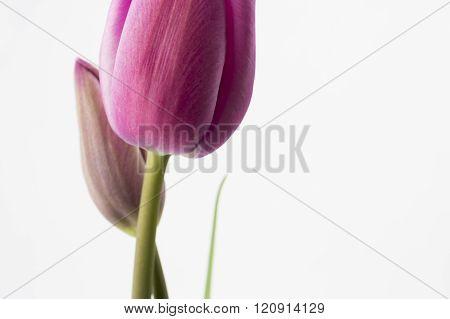 Hot Pink Tulips Closeup.