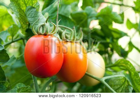 red and green tomatoes grow on twigs. Ripening organic tomatoes on a vegetable bed into the garden. Bio product.