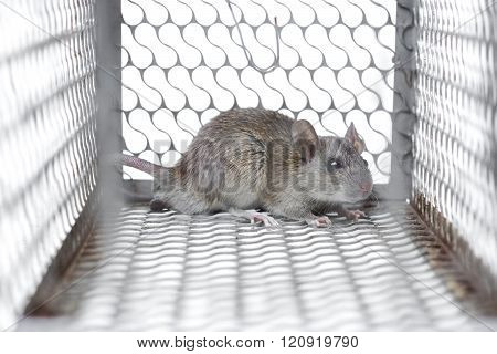 a mouse in a metal cage trap