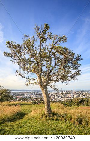 Lone Pine Tree With Beautiful City View Background.