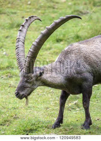 Male Alpine Ibex In A Grass