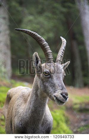 Portrait of a female alpine ibex