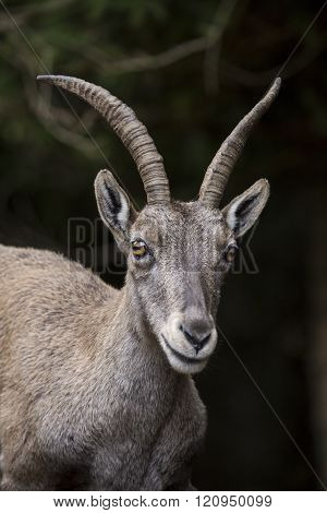 Portrait Of An Alpine Ibex