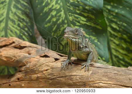 Chinese water dragon (Physignathus cocincinus) on wood, Thai Water Dragon, and Green Water Dragon.