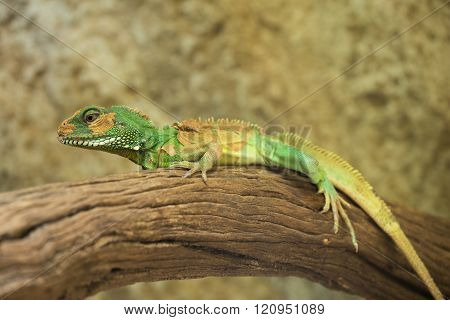 Chinese Water Dragon (physignathus Cocincinus), Thai Water Dragon, And Green Water Dragon.