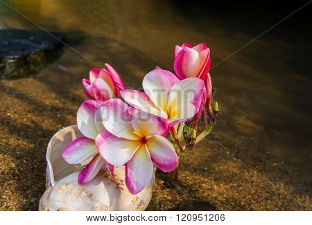 Pink Flowers Beautiful Frangipani Or Plumeria In Sea Conch Shell On River Sand