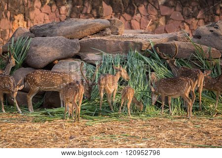 Chital, Cheetal, Spotted deer, Axis deer eating grass