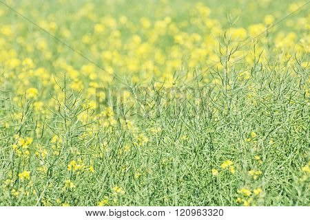 Seasonal Rapeseed Field, Detailed Agricultural Photo
