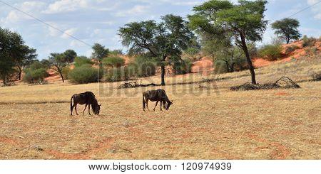 Blue Wildebeest Antelopes