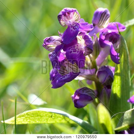 Green-winged orchid (Anacamptis morio) flower spike
