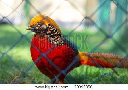 Portrait Of Captive Golden Pheasant (chrysolophus Pictus)