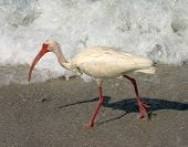 white ibis along florida's gulf coast. madeira beach florida poster