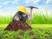 The Mole (Talpa Europea) with pickax digging on your garden. Pest control concept. Funny picture of animals in agriculture.  poster