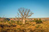 Baobab Tree on the Gib River Road Australia poster