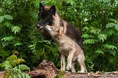 Grey Wolf Pup (Canis lupus) Sniffs at Black Wolf - captive animals poster