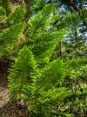 Close up of the Giant fern in the Terra Nostra Garden in Furnas,  on Sao Miguel island, Azores, Portugal poster