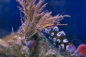 Red Skunk Cleaner Shrimp Lysmata Amboinensis underwater poster