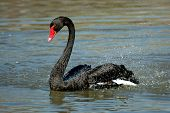 black swan splashing at lindo lake san diego california poster