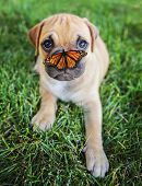 a cute chihuahua pug mix puppy (chug) looking at the camera with with grass in his mouth and a butterfly on his nose in a backyard during summer (SHALLOW DOF - on mouth) poster