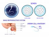 Anatomy of the male reproductive system. semen. poster