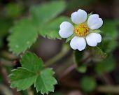 Beautiful white flower this low growing plant in the rose family (Rosaceae) poster
