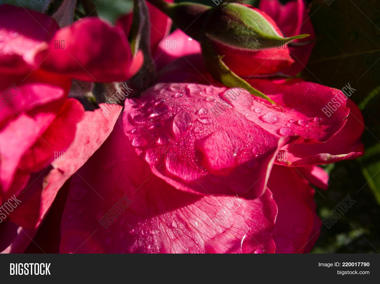 Rose petal rain drops image photo free trial bigstock the rose petal in the rain drops the rose is in droplets of water izmirmasajfo