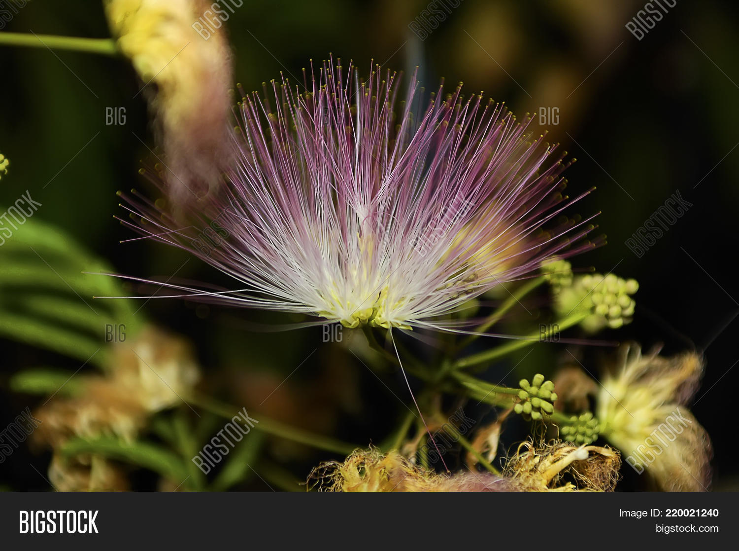 Pink Fluffy Flowers On Image Photo Free Trial Bigstock
