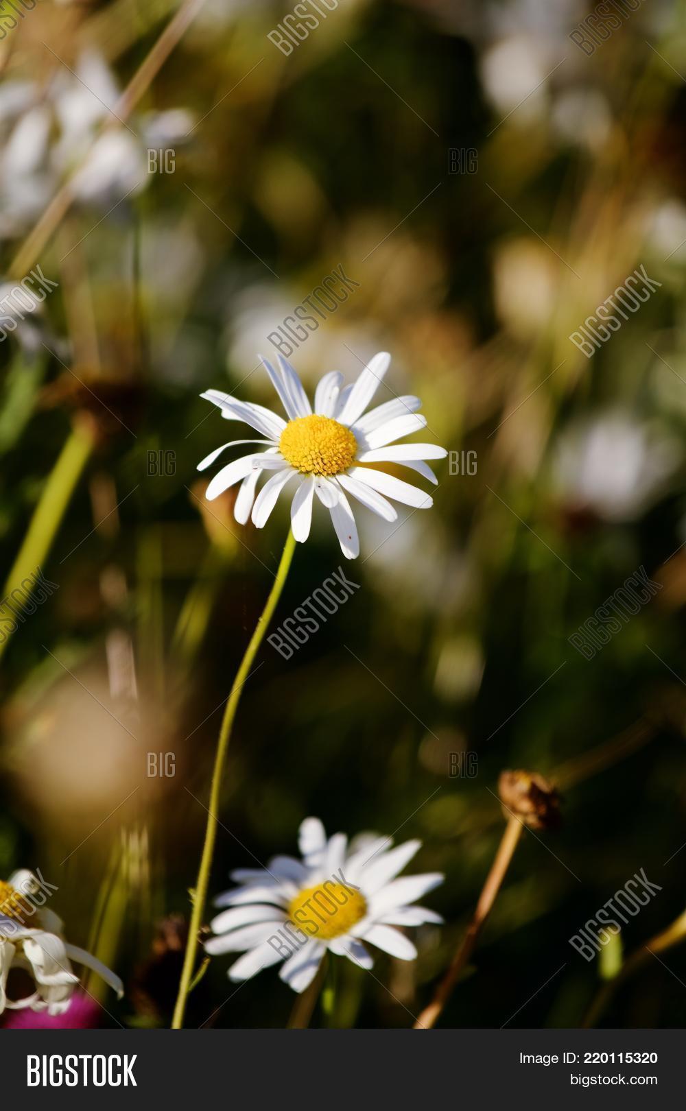 Wild daisy wild flower image photo free trial bigstock wild daisy in wild flower meadow bright white and yellow izmirmasajfo