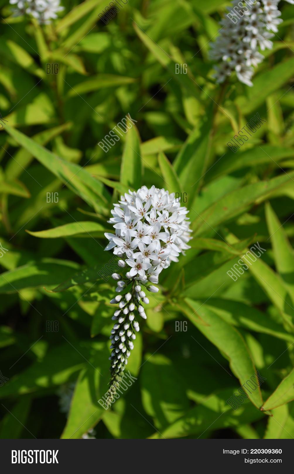 Flowering White Image Photo Free Trial Bigstock