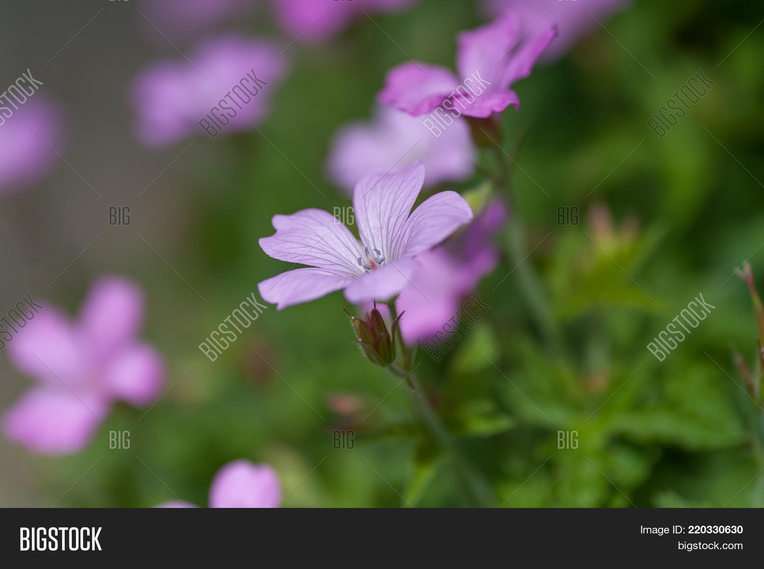 Purple Flowers Wild Image Photo Free Trial Bigstock