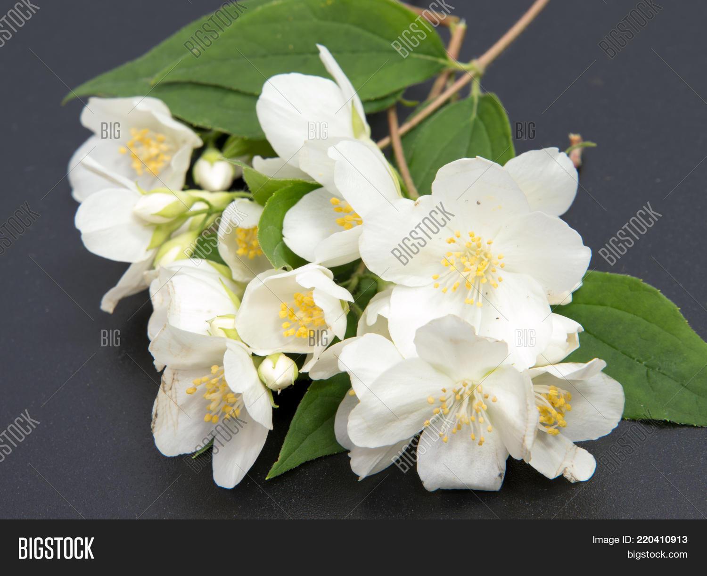 Branch jasmine flower image photo free trial bigstock a branch of the jasmine flower isolated white jasmine flower izmirmasajfo
