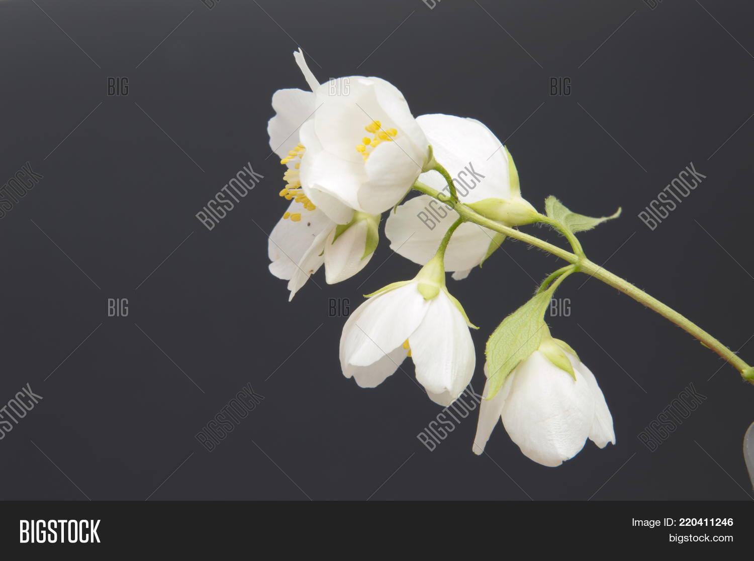 Branch Jasmine Flower Image Photo Free Trial Bigstock