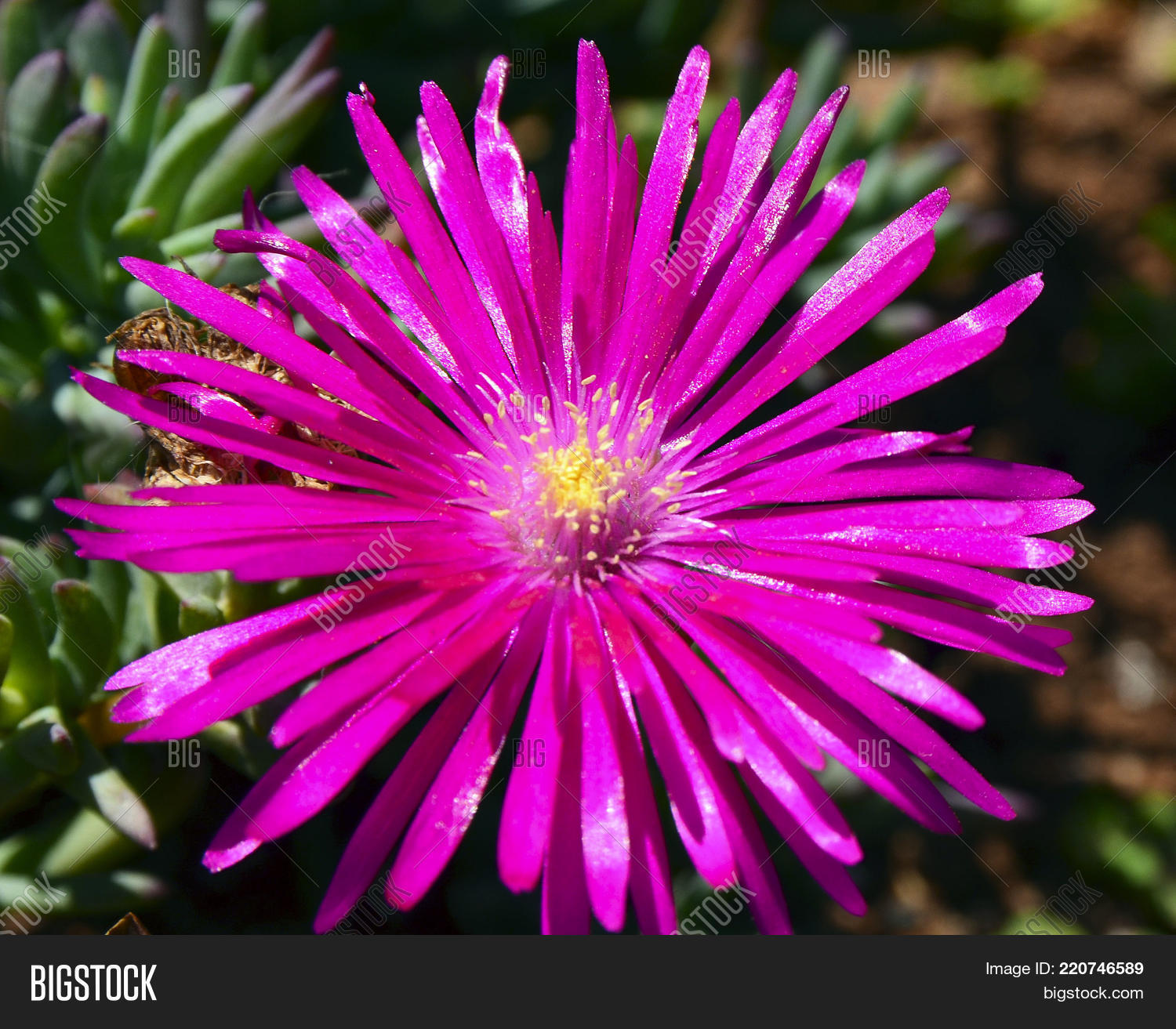Pink Ice Plant Flower Image Photo Free Trial Bigstock