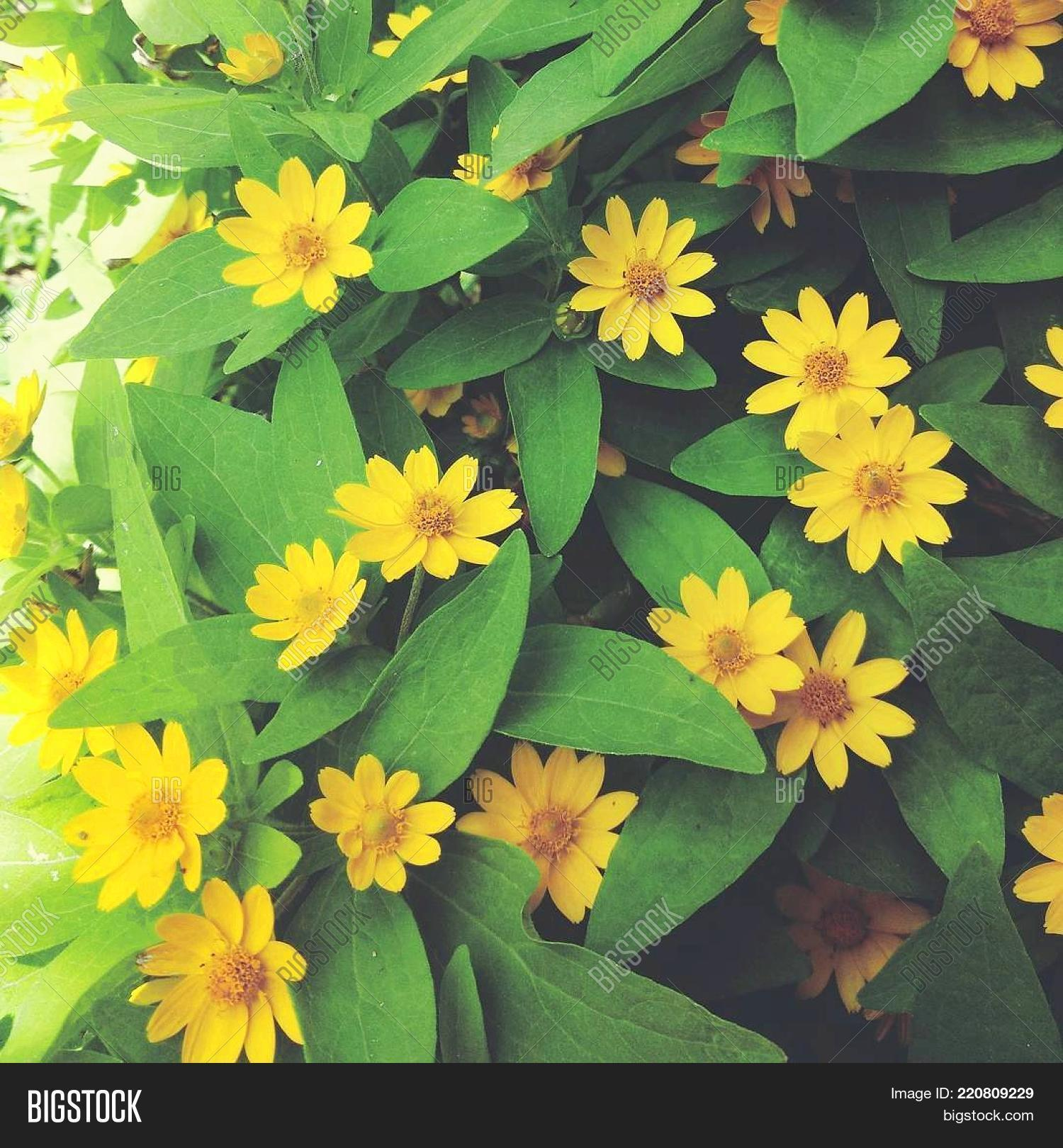 Name daisy takes name image photo free trial bigstock the name daisy takes its name from the sun yellow daisy meaning days izmirmasajfo