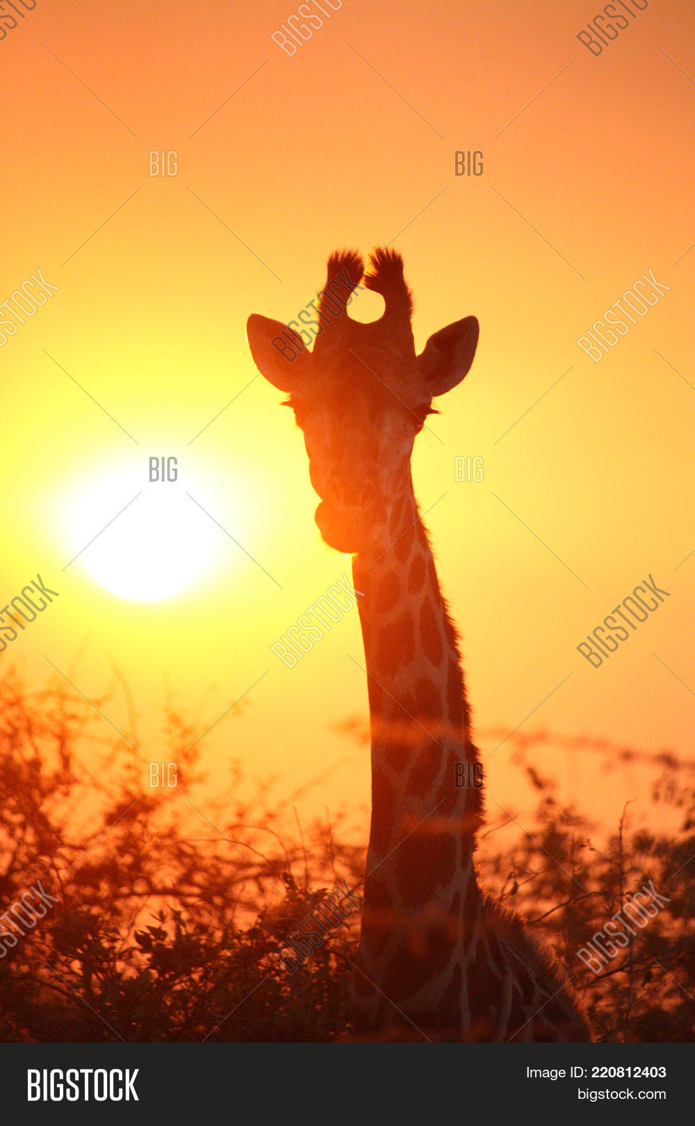 Sunset Giraffe Female Image Photo Free Trial Bigstock